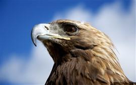 Águila, cabeza, pico, ojo, cielo, nubes