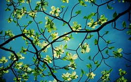 Preview wallpaper Flowers, dogwood, green leaves, twigs