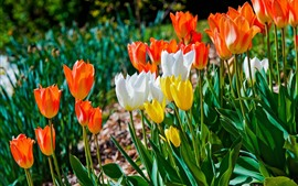 Preview wallpaper Flowers field, white, orange, yellow tulips