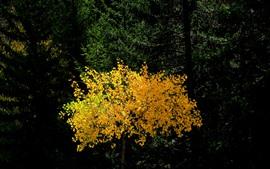 Bosque, árbol, hojas amarillas