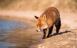 Vorschau des Hintergrundbilder Fuchs am Flussufer