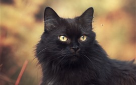 Gato preto peludo, olhos amarelos, olhar