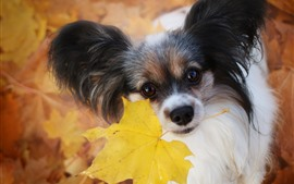 Preview wallpaper Furry dog, yellow maple leaf