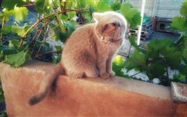 Gatito peludo, hojas de parra
