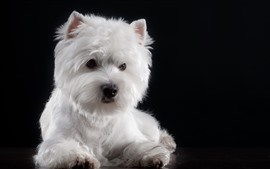 Furry white dog, black background
