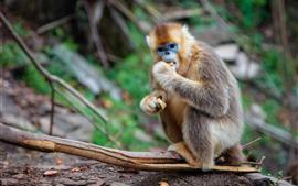 Золотая обезьяна ест пищу