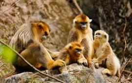 Família de macacos dourados, floresta