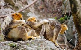 Familia de monos dorados, rocas, arbol