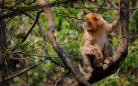 Mono dorado mira atras, arbol