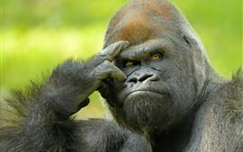 Gorila, animais selvagens