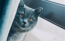 Gato cinzento olhar para ti, tímido