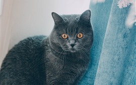 Gray cat, orange eyes, curtain