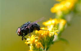Preview wallpaper Insect, fly, yellow flowers