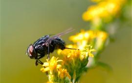 Insecto, mosca, flores amarillas.