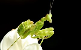 Insect, mantis, black background
