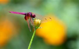 Insecto, libélula roja, flor amarilla