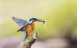 Kingfisher captura un pez, vuelo, alas
