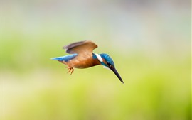 Preview wallpaper Kingfisher flight, bird, green background