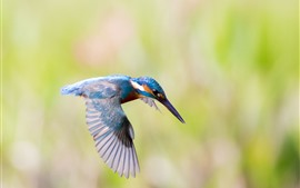 Preview wallpaper Kingfisher flight, wings, bird close-up