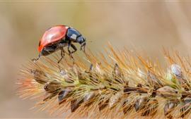 Ladybug, Gras, Samen