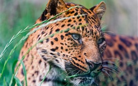 Preview wallpaper Leopard, face, grass, spotted, wildlife