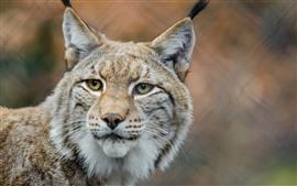 Aperçu fond d'écran Regard de lynx, yeux jaunes, visage, oreilles