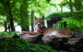 Lince, gato salvaje, bosque, fondo verde