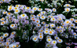 Preview wallpaper Many aster flowers