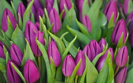 Many purple tulips, green leaves