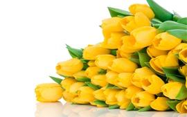 Muchos tulipanes amarillos, flores, fondo blanco