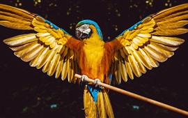 Preview wallpaper Parrot, open wings