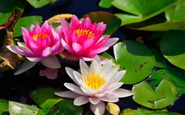 Preview wallpaper Pink and white water lilies