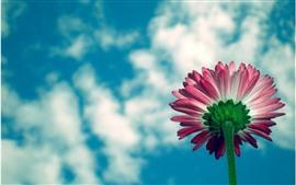 Margarita Rosa, pétalos, tallo, cielo azul, nubes