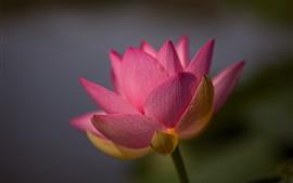 Primer plano de loto rosa, pétalos, fondo brumoso