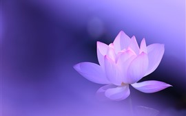 Preview wallpaper Pink lotus, petals, purple background, hazy, beautiful flower