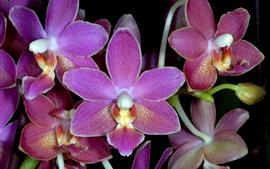 预览壁纸 粉色蝴蝶兰,花瓣,鲜花