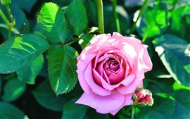 Preview wallpaper Pink rose, green leaves, sunshine