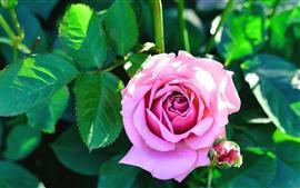 Розовая роза, зеленые листья, солнце