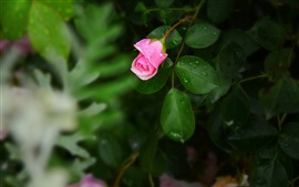 Preview wallpaper Pink rose, green leaves, water droplets