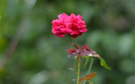 Pétalas de rosa cor de rosa, fundo nebuloso