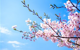 Preview wallpaper Pink sakura bloom, blue sky, spring