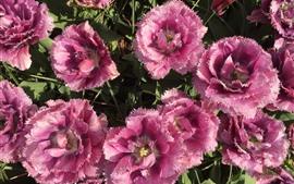 Tulipanes rosa florecen, pétalos.