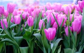 Tulips cor-de-rosa, folhas, haste