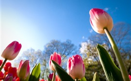 Tulips cor-de-rosa, haste, céu azul, luz do sol