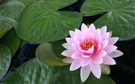 Preview wallpaper Pink water lily, petals, green leaves, pond