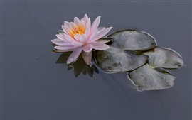 Preview wallpaper Pink water lily, petals, leaves, water