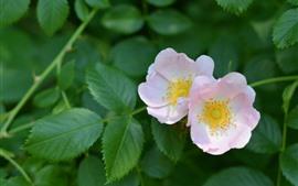 Rosa selvagem rosa, folhas verdes