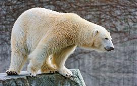 Urso Polar, Rochas