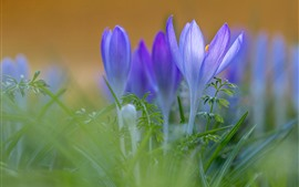Preview wallpaper Purple crocuses, petals, green grass