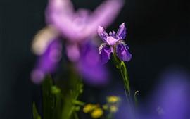 Primer plano de flor de iris morado, fondo brumoso
